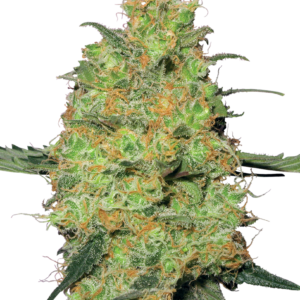 Master Kush Feminized Seeds