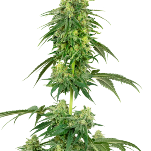 Strawberry Kush Feminized Seeds