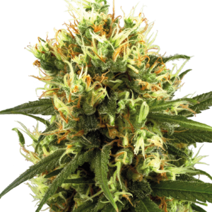 White Haze Automatic Seeds